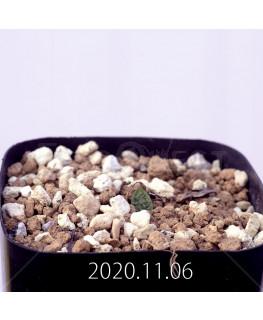 Massonia pygmaea マッソニア ピグマエア EQ812  16666