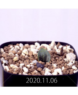 Massonia pygmaea マッソニア ピグマエア EQ812  16668