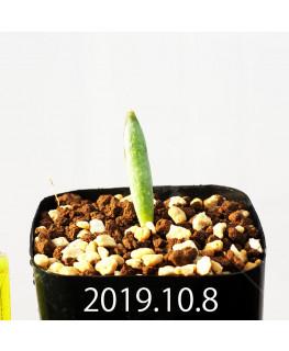 Albuca unifoliata アルブカ ウニフォリアータ EQ813  17077