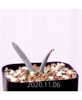 Albuca unifoliata アルブカ ウニフォリアータ EQ813  17084