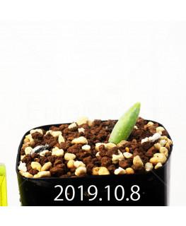 Albuca unifoliata アルブカ ウニフォリアータ EQ813  17090