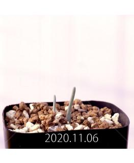 Albuca unifoliata アルブカ ウニフォリアータ EQ813  17094