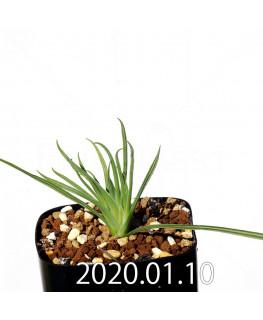 ラペイロージア シレノイデス EQ706 実生 17204