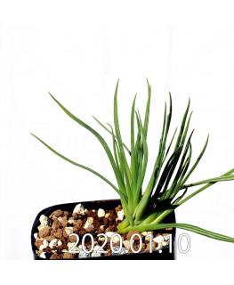 ラペイロージア シレノイデス EQ706 実生 17218