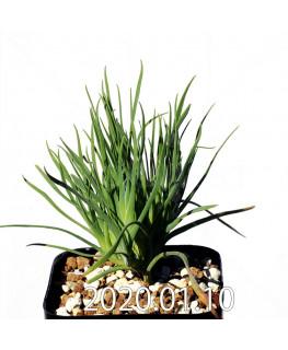 ラペイロージア シレノイデス EQ706 実生 17222