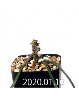 ラケナリア コリンボーサ EQ441 子株 17259