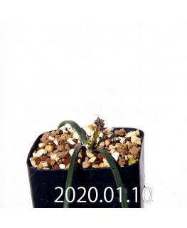 ラケナリア コリンボーサ EQ441 子株 17261