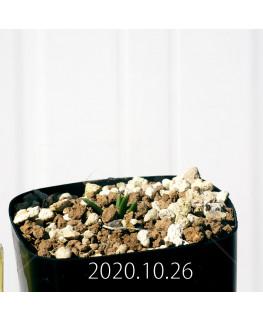 ラケナリア コリンボーサ EQ441 子株 17266