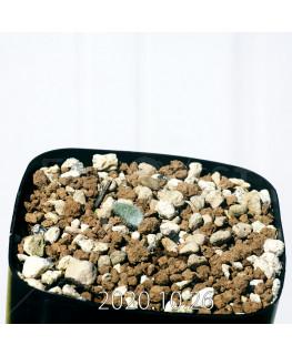 Eriospermum dregei エリオスペルマム ドレゲイ EQ605  17280