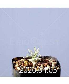 エリオスペルマム ドレゲイ EQ605 実生 17292