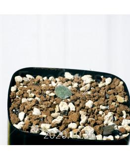 Eriospermum dregei エリオスペルマム ドレゲイ EQ605  17307