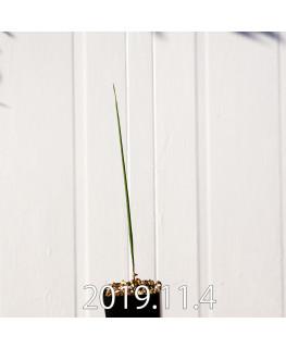 モラエア エレガンス オレンジイエロー 実生 17406