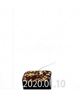 ラケナリア ウニフォリア ウニフォリア変種 実生 17506