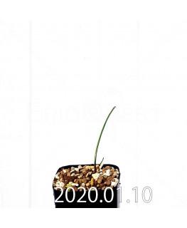 ラケナリア ウニフォリア ウニフォリア変種 実生 17513