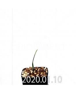 ラケナリア ウニフォリア ウニフォリア変種 実生 17519