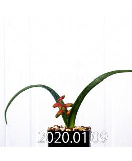 ラケナリア アロイデス クアドリカラー変種 実生 17601