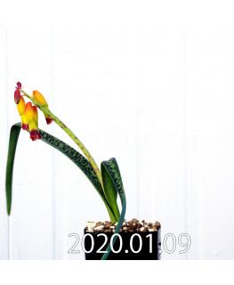 ラケナリア アロイデス クアドリカラー変種 実生 17602