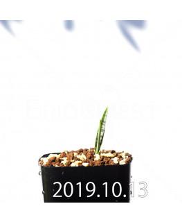 ラケナリア アロイデス クアドリカラー変種 実生 17605