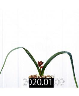 ラケナリア アロイデス クアドリカラー変種 実生 17606