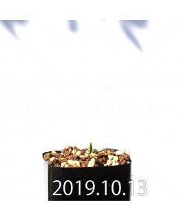 ラケナリア アロイデス クアドリカラー変種 実生 17615