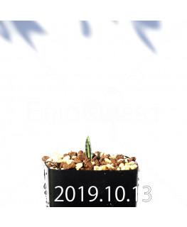 ラケナリア アロイデス クアドリカラー変種 実生 17620