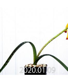 ラケナリア アロイデス クアドリカラー変種 実生 17623