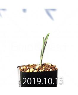ラケナリア アロイデス クアドリカラー変種 実生 17630