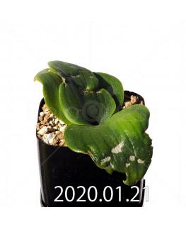Massonia echinata マッソニア エキナータ EQ830  17828