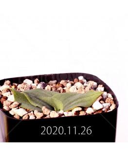 Massonia echinata マッソニア エキナータ EQ830  17837