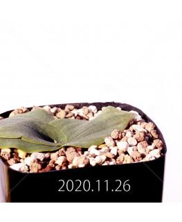 Massonia echinata マッソニア エキナータ EQ830  17839
