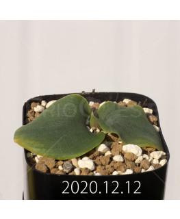 Massonia echinata マッソニア エキナータ EQ830  17844