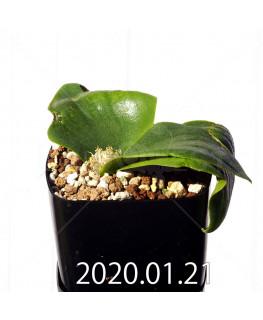 Massonia echinata マッソニア エキナータ EQ830  17848