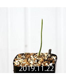 ラケナリア コリンボーサ EQ453 子株 17892
