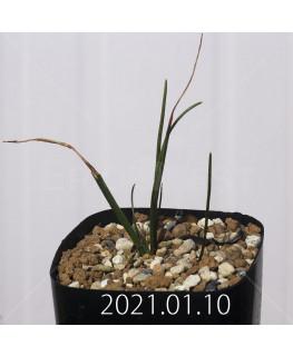 ラケナリア コリンボーサ EQ453 子株 17897