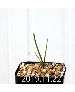 ラケナリア コリンボーサ EQ453 子株 17898
