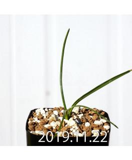 ラケナリア コリンボーサ EQ453 子株 17903