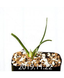 ラケナリア コリンボーサ EQ453 子株 17904