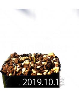 ラケナリア コリンボーサ EQ453 子株 17907