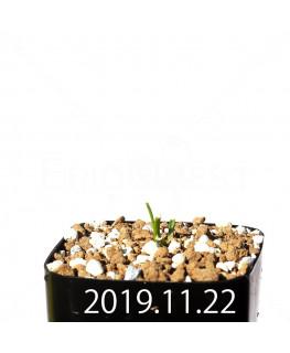 ラケナリア コリンボーサ EQ453 子株 17910
