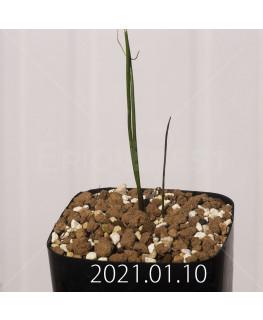 ラケナリア コリンボーサ EQ453 子株 17911