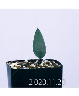 エリオスペルマム カペンセ EQ428 実生 18056