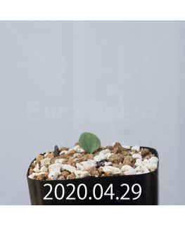 エリオスペルマム カペンセ EQ428 実生 18058