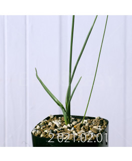 Moraea macronyx モラエア マクロニクス EQ847  18484