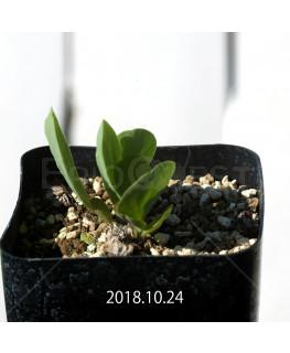 オキザリス モノフィラ 白花 子株 1852