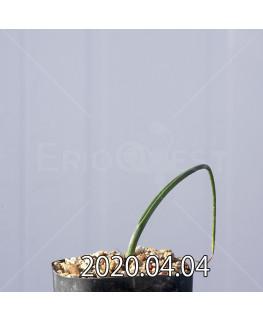 ラケナリア ゼイヘリ GS2507 実生 18587