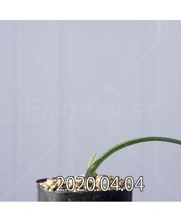 ラケナリア ゼイヘリ GS2507 実生 18588