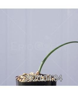 ラケナリア ゼイヘリ GS2507 実生 18591