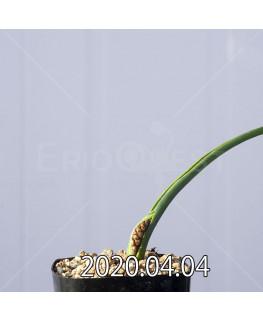 ラケナリア ゼイヘリ GS2507 実生 18596