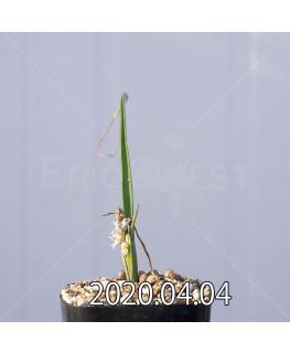 ラケナリア ゼイヘリ GS2507 実生 18601