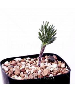 Eriospermum cervicorne エリオスペルマム ケルビコルネ MRO99  18628